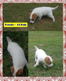 Jack Russell Terrier Pure Bred Puppies - Registered / Pedigree Ipswich Ipswich City Preview