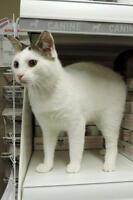 "Adult Male Cat - Domestic Short Hair: ""Boone"""