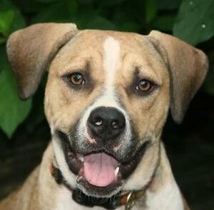 "Adult Female Dog - Boxer-Labrador Retriever: ""Isabella"""