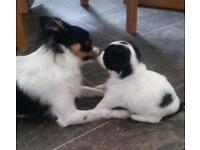 Jackawowa puppies