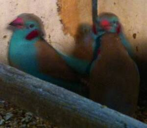 finches for sale many varieties and neophemas Whittlesea Whittlesea Area Preview