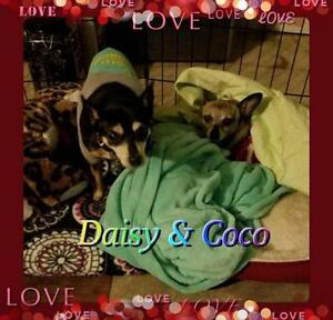 "Senior Female Dog - Chihuahua: ""Coco & Daisy Bonded Pair"""