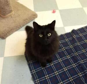 """Adult Male Cat - Domestic Long Hair: """"Chubby"""""""