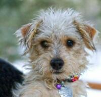 """Young Male Dog - Terrier: """"Luigi"""""""