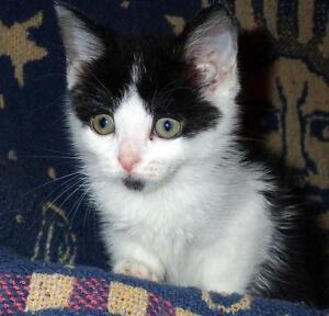 """Baby Female Cat - Domestic Short Hair-black and white: """"Holly"""""""