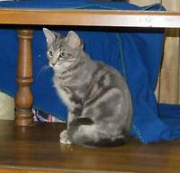 "Baby Male Cat - Bengal-Tabby: ""TIMMY"""