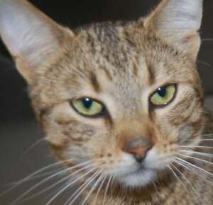 "Adult Male Cat - Domestic Short Hair: ""Doug"""
