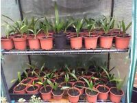 PRICE REDUCED NOW MUST GO! Grow your own Windmill Palm Plant £6 each or 3 for £15