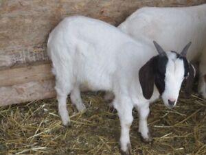 Three Young Bucks - Goats