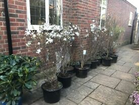 Price Reduced Now! Stunning Magnolia Plants lovely & established various heights up to 6-8ft height