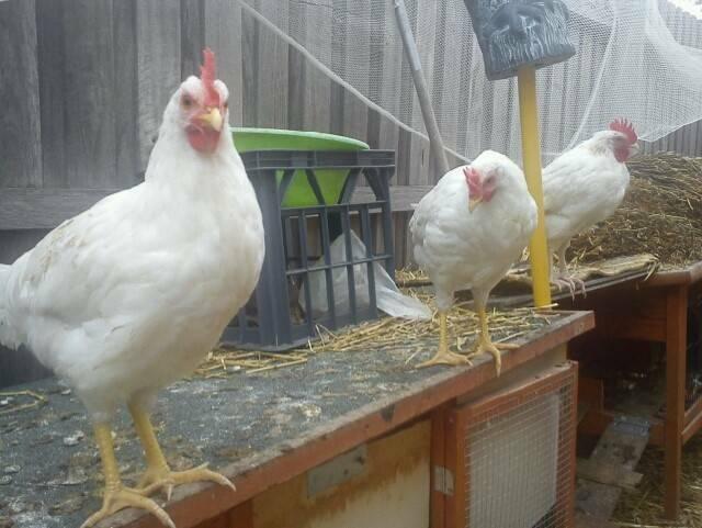 ROOSTER LEGHORN Pure Breed Cockerel Hens Chicken Chooks ...