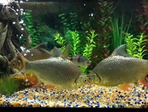 3 Large Red Tailed Tinfoil Barbs