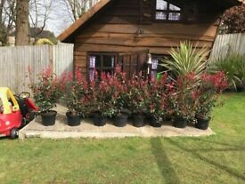 Last 4 Left. Red Robin Photinias so stunning ideal for screening