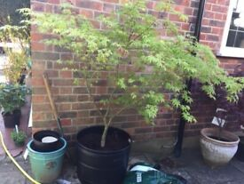 A simply Huge 5.5ft / 6ft Japanese Maple Acer Tree In a huge pot