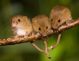 small colony of harvest mice in glass set up