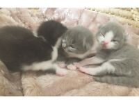 Beautiful grey/white and black/white kittens