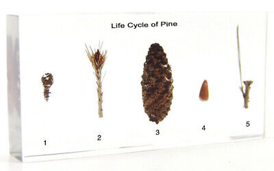 Life Cycle of Pine plant embedded  resin paperweight Collection Specimen](Life Cycle Of Plants)