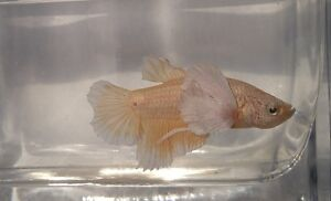 Dumbo Ear/Elephant Ear Betta Fish London Ontario image 4