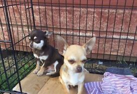 Two pure bred chihuahua puppies