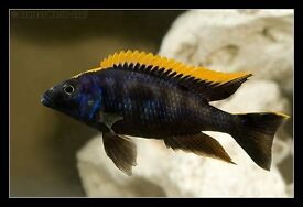 YOUNG ADULT PAIRS MALAWI CICHLIDS