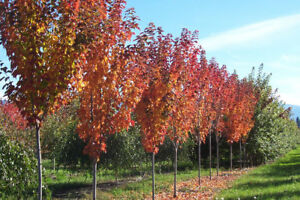 MATURE TREES FOR SALE (Red Maple, Sugar Maple,  White Spruce)