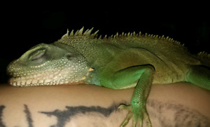 Chinese Water Dragon Male
