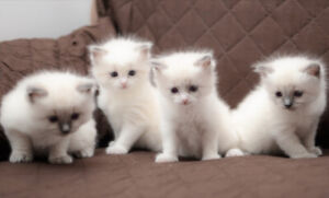 Purebred RAGDOLL Kittens seeking lovable homes