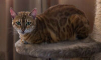 Purebred Bengals - Retired females