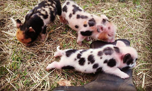 Miniature Piglets - Two Healthy, Happy Females Still Available