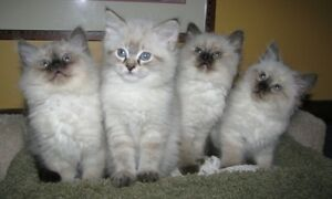 Purebred RAGDOLL kittens -  this litter SOLD OUT
