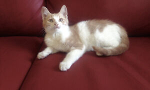 Cream and white kitten available for adoption cute and playful