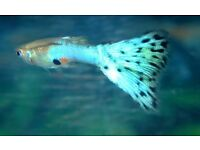 "Endler's-Guppy Fish ""BLUE GRASS"" x ""JAPAN BLUE"" RARE"
