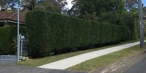Hedge Trimming and Pruning Services Ryde Ryde Area Preview