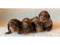 Pra clear chocolate dapple miniature dachshund puppies