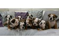 REDUCED English Bulldog Puppies Triple Carriers READY NOW