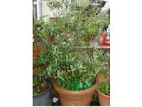 Olive tree about 10 years old
