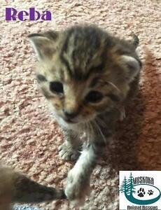 "Baby Female Cat - Domestic Short Hair: ""Reba - Cutie Patootie!"""