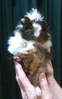 How CUTE is THIS baby GUINEA PIG?? Jerrabomberra Queanbeyan Area Preview
