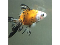 Various fancy gold fish