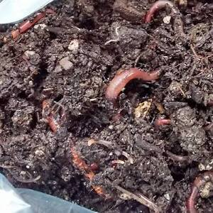 Red Wiggler Worms for composting bin