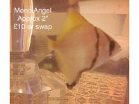 Mono Angelfish