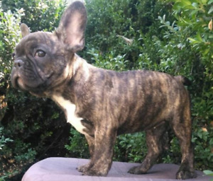 Amazing French Bulldog Puppies Available!