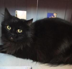 "Adult Male Cat - Domestic Long Hair (Black): ""Alvaro"""