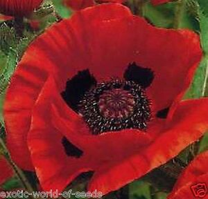 ORIENTAL POPPY SEEDS - PERENNIAL WITH GIANT  RED  FLOWERS