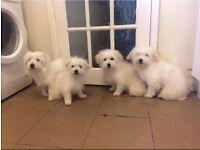 For sale three maltese puppies