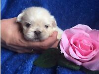 Stunning Pekingese white cream puppies small lap dog teacup puppy adorable like teddy bears