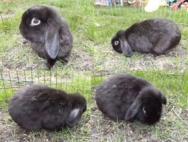 Sooty the Rabbit looking for a new home