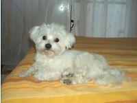 Maltese boy puppy