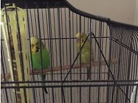 Pair of Budgies free to good home