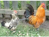 beautiful chickens for sale